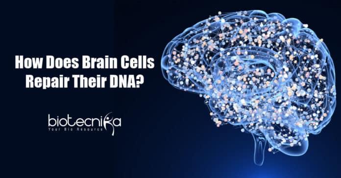 How Brain Cells Repair Their DNA